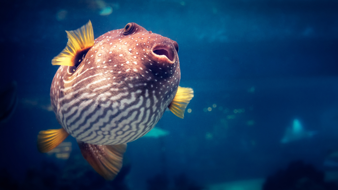 Pufferfish Toxin Holds Clues To Treating 'Lazy Eye' In Adults : Shots